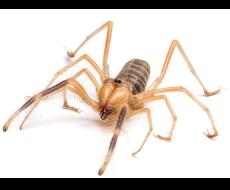Araña mata venados
