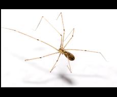 Araña patona