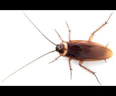 cucaracha-americana2
