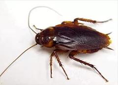 Cucaracha Germánica